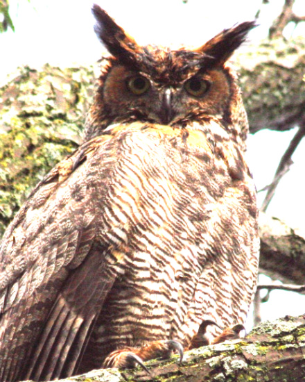 great_horned_owl.jpg