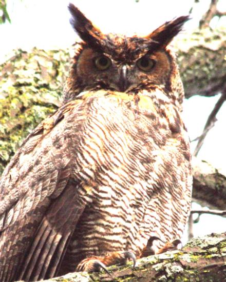 great_horned_owl.jpg