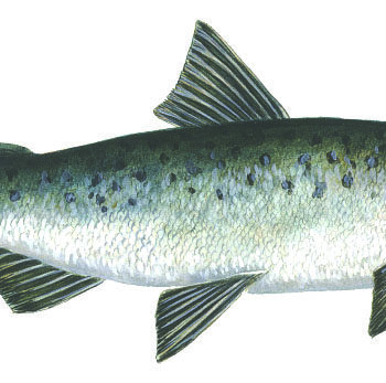 Coho Salmon, Ocean Fish breeds in fresh water introduced to Great Lakes