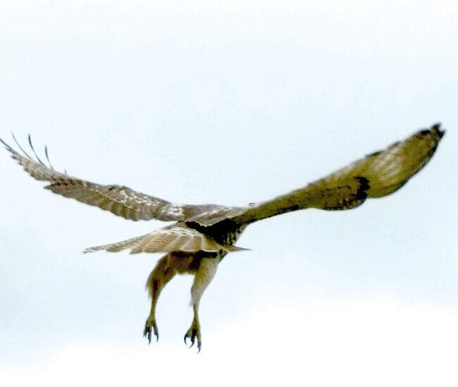 hawk red tail 3 in flightweb