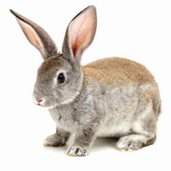 rabbit WEB